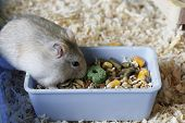 Dwarf Furry Hamster Eats Food Next To The Feeder poster