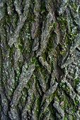 Old Linden Bark Covered With Moss. Relief Bark Resembles View High Mountains Wooded From Above. Text poster