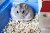 Dwarf Furry Hamster Eats Feeds And Sits On Sawdust, Front View poster