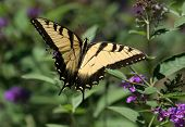 Tiger Swallowtail Butterfly (Papilio Glaucas)