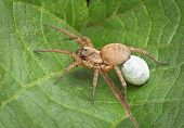 stock photo of baby spider  - A female wolf spider is carrying an egg case under her body - JPG