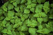 Close Up Of Lush Vibrant Green Pogostemon Cablin Patchouli Plant Eaves Wet From Rain Or Dew, Medicin poster
