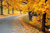 Road In Autumn Lined With Golden Trees