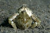 Mating Pebble Crabs in Lembeh Straits