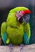 Buffon's Macaw