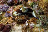 Chamberlain's Nudibranch in Lembeh Straits