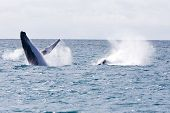 stock photo of cetacea  - Humpback jubarte Whale of abrolhos islands in bahia state brazil