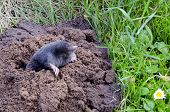 Spring Mole  And Molehill