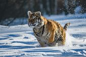 Siberian Tiger Running. Beautiful, Dynamic And Powerful Photo Of This Majestic Animal. Set In Enviro poster