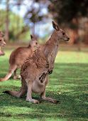 Kangaroo On Grass