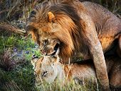 A couple of male lion and female lion copulation on savanna. Safari in Serengeti, Tanzania, Africa