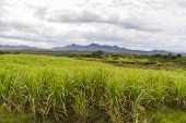 stock photo of greater antilles  - Sugar cane plantation on the island of Cuba - JPG