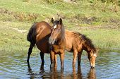 Wild Horses Drinking In Pond