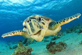 stock photo of biodiversity  - Close up crop of Hawksbill Sea Turtle - JPG