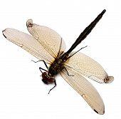 Dragonfly. Sympetrum Danae