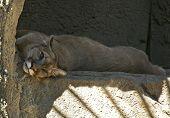 Puma On Rock