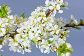 Flowered Plum Tree