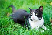 Cute black cat lying on green grass lawn, shallow depth of field portrait