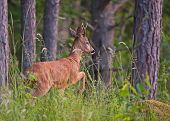 image of roebuck  - The roebuck watching before leaving the woods in Uppland - JPG