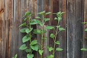 picture of heliotrope  - unripe sunflowers against the background of the wall from boards - JPG