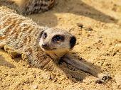 Suricate or Meerkat
