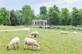 sheep with Palladin Bridge at background, Stowe, Buckinghamshire, England