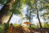 stock photo of bolete  - velvet bolete in forest with high trees - JPG