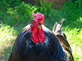 stock photo of black-cock  - The photo of black cock taken closeup - JPG
