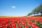 Field With Red Blooming Tulips In The Netherlands