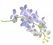 Purple Vanda Coerulea Orchid Flower Isolated On White Background Use For Decoration And Multipurpose