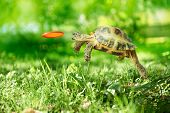 stock photo of frisbee  - Turtle jumps and catches the frisbee - JPG