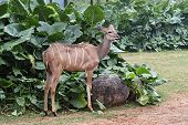 stock photo of bongo  - Bongo Antelope  - JPG