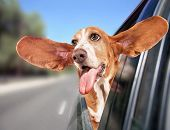 a basset hound riding in a car with her head out of the window and her ears flapping in the wind