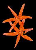 Wild Lily (lilium Bushianum)