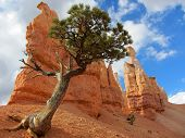 Bristlecone Pine, Bryce Canyon National Park