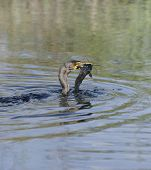 Double-crested Cormorant (Phalacrocorax carbo) With Catfish