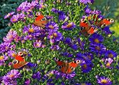image of impressionist  - A group of colourful butterflies sitting on violet flowers stylized and filtered to resemble an oil painting - JPG