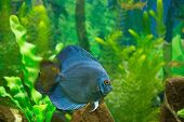 pic of piranha  - brutal killer piranha river fish in home aquarium
