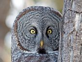 image of dog-walker  - The Owl peeks around the corner as a dog walker passes very close to his tree - JPG