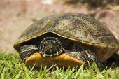 Moerasschildpad bestand een