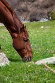 pic of horses eating  - Horse eats the grass - JPG