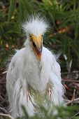 Baby Great Egret (ardea Alba)