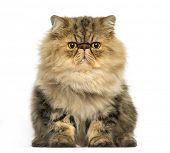 Front view of a grumpy Persian cat facing, looking at the camera, isolated on white poster