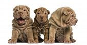 pic of shar-pei puppy  - Front view of Shar Pei puppies sitting in a row - JPG