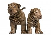 stock photo of shar-pei puppy  - Front view of two Shar Pei puppies standing - JPG