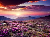 foto of night-blooming  - Magic pink rhododendron flowers on summer mountain - JPG