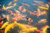 Koi Carps Fish Japanese Swimming (cyprinus Carpio)