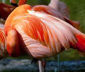 American Flamingo - Phoenicopterus Ruber - Beautiful Red Colored Bird