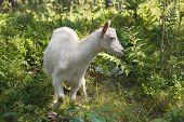 goats graze
