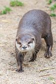 Asian Small-clawed Otter On Sand